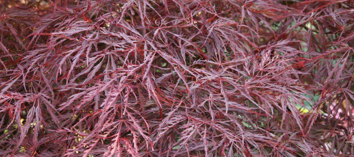 acer <I>palmatum</I> 'Crimson Queen'